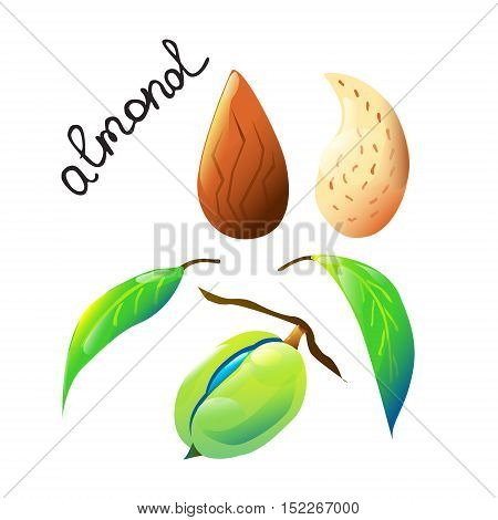 Vector botanical composition with an isolated almond nut almond nutshell and leaves. Perfect design for label recipe logo cooking oil label chocolate or ice cream cover biology book or poster