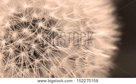 The Dandelion Background.