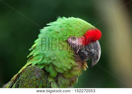 Bolivian military macaw (Ara militaris boliviana). Wildlife animal.