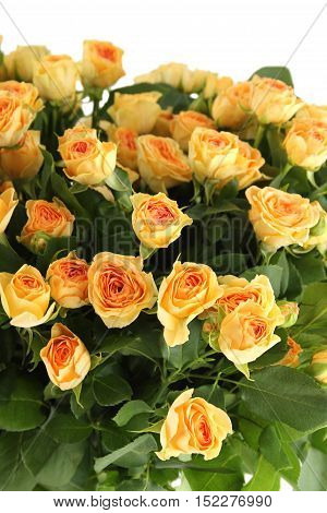 Close-up of a beautiful bouquet of yellow roses. Isolated on white background