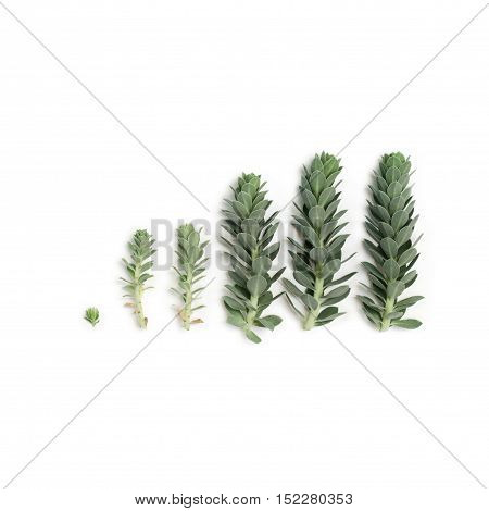 Pattern of blue succulent plants (spurge) isolated on white background overhead view