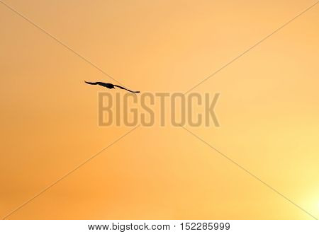 Seagull With Immense Wingspan Flying