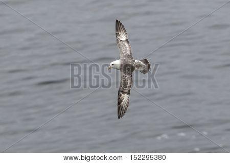 Fulmar light morphs hovering near seabird colonies