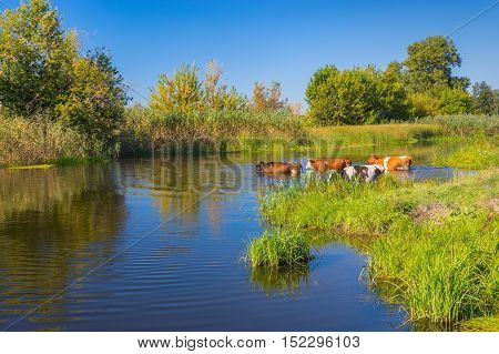 Landscape with cows having water treatment in summer Ukrainian river Merla