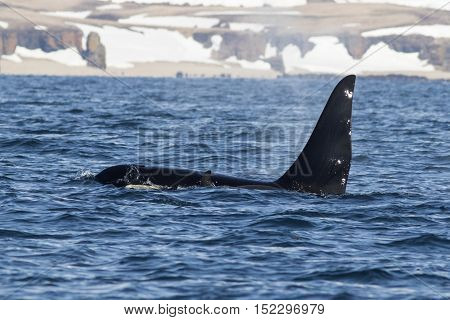 killer whales swim along the shore of the Bering Island