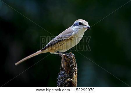 Brown Shrike Lanius cristatus Birds of Thailand