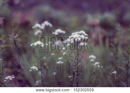 White flowers of Gypsóphila оn a natural purple background