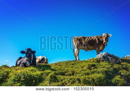 Herd of cows in a grassy rocky alpine pasture standing or lying against a sunny blue sky looking down at the camera, Grosser Daumen, Germany