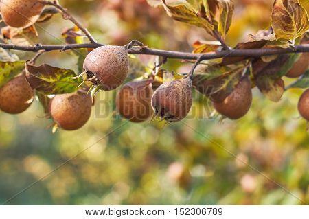 Common medlar fruit growing on tree. Copy space