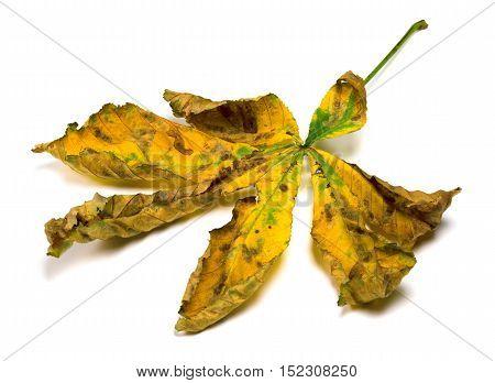 Dried Autumn Leaf Of Chestnut
