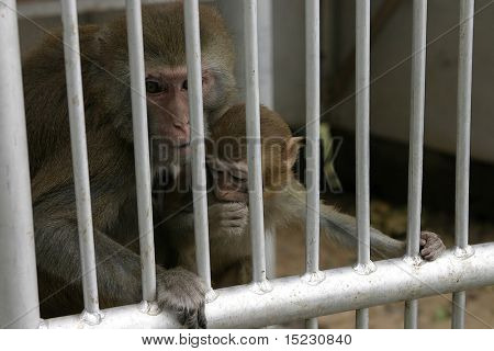 monkey in zoo of Sukhum, Abkhazia