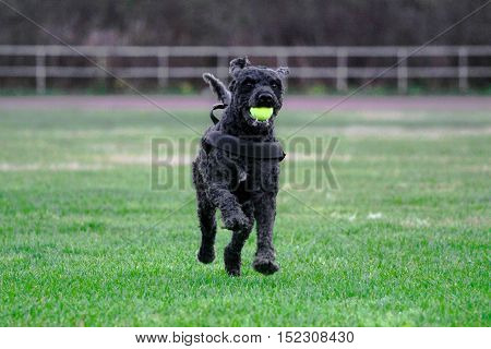 Dog running over a field with yellow tennisball in the mouth.