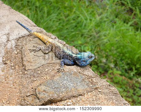 Male tree agama or Blue-throated Agama or Blue Headed Agama (Acanthocercus atricollis) in bright breeding colors Kruger National Park South Africa