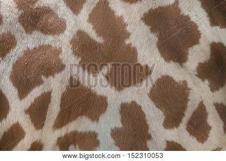 Kordofan giraffe (Giraffa camelopardalis antiquorum), also known as the Central African giraffe. Skin texture. Wildlife animal.