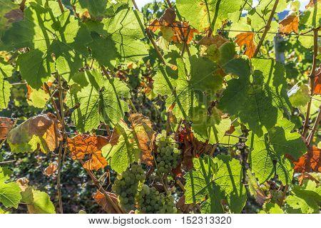 Green Vineyards In Autumn Ready For Harvest In Trittenheim