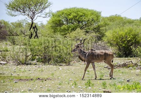 Male greater kudu (Tragelaphus strepsiceros) strutting in Etosha national park Namibia.