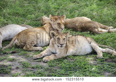 Jung lions sleeping on the grass in Ngorongoro in Tansania
