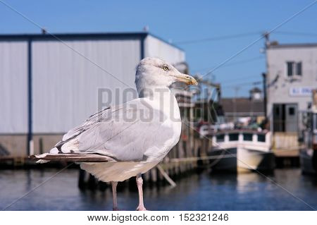 Seagull hanging out in front of fish processing plant and waiting for a free meal.
