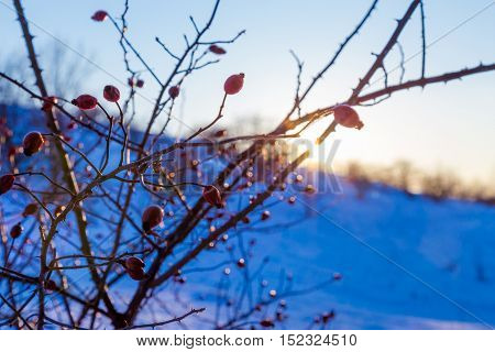 serene cold winter landscape with briar branches against sunset