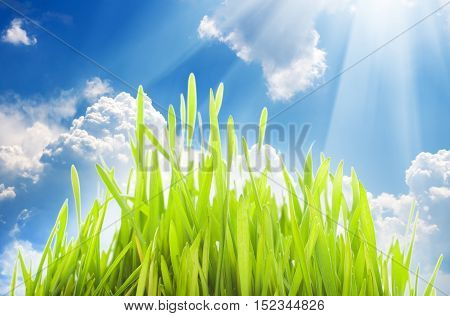 young wheat sprouts on a cloudu sky background