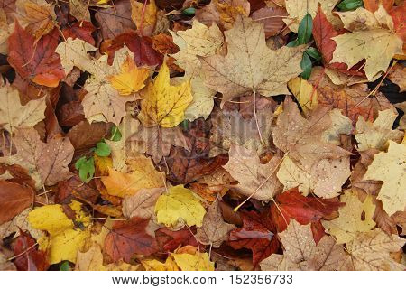 Pile of wet leaves in Michigan during fall