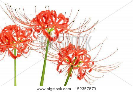Lovely red spider lily flowers, known scientifically as Lycoris radiata, isolated on white background