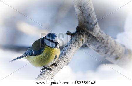 a blue tit sitting in a tree
