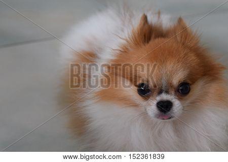 Cute Pomeranian ldog ooking at the camera
