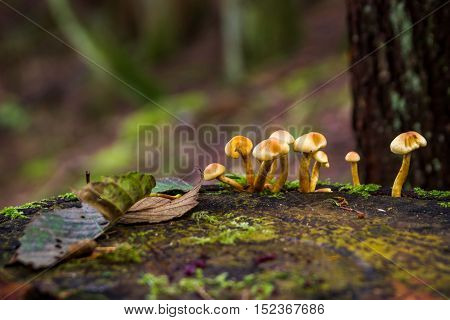 Amanita verna bad mushrooms in the forest Canada British Columbia