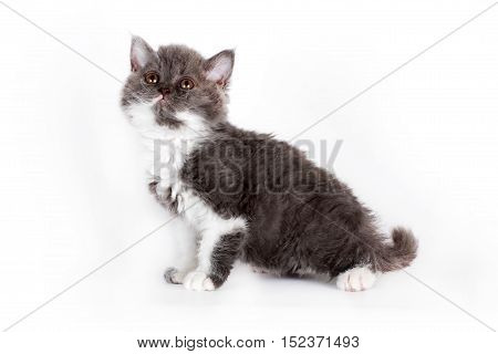Kinky little kitten Selkirk Rex on white background sitting and looking up