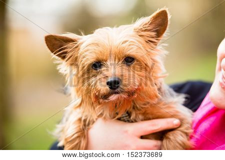 Yorkie being hold by dog mama