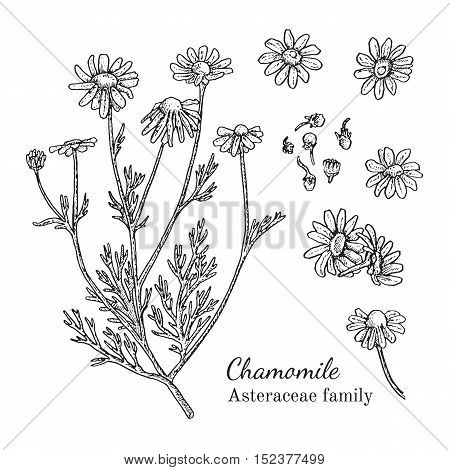 Ink chamomile herbal illustration. Hand drawn botanical sketch style. Absolutely vector. Good for using in packaging - tea, condinent, oil etc - and other applications