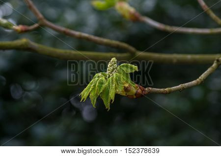 Close-up of a green Chestnut Blossom. Branches of a Chestnut Tree. Blooming Chestnut Blossom (Castanea) in Spring.  Plants in Spring