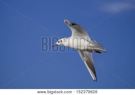 Close-up of a  flying Seagull in front of a blue sky. Seagulls (Laridae) in flight.  Wildlife. Animals in the Wild. Flying Birds.