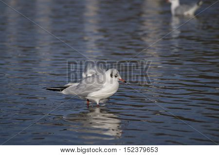 Close-up of a  Seagull. Seagulls (Laridae) in the water..  Wildlife. Animals in the Wild. A Seagull stands the Water