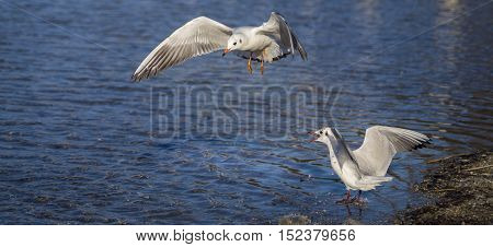 Close-up of a  flying Seagull. Seagulls (Laridae) in flight.  Wildlife. Animals in the Wild. Flying Birds.