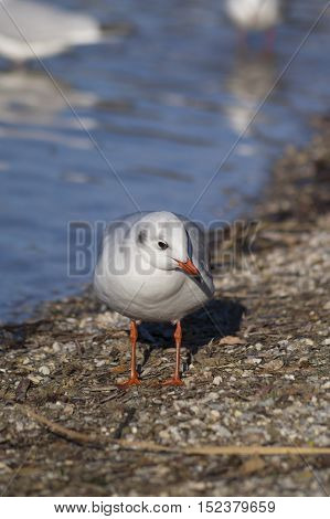 Close-up of a  Seagull. Seagulls (Laridae) at the Lake. Wildlife. Animals in the Wild. Seagull at the lakeshore