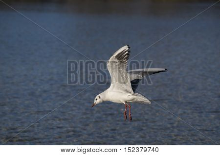 Close-up of a  landing Seagull. Seagulls (Laridae) in flight.  Wildlife. Animals in the Wild. Flying Birds.