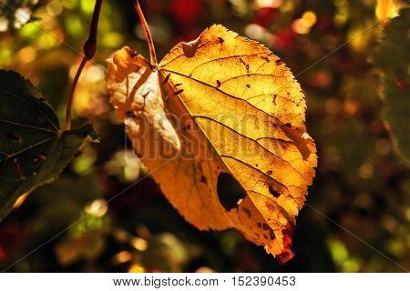 Nice big autumn leaf lit by sun