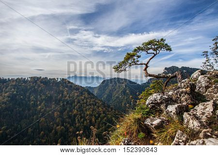 Sokolica - View Of The More Than 500 Year Old Pine Dwarf.