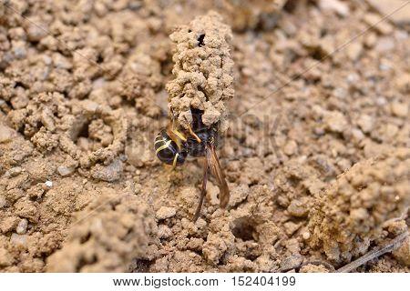 Female Potter wasp building her nest endangered species