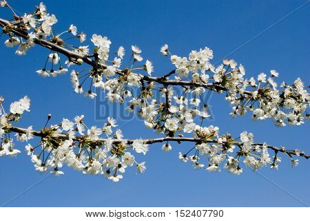 Branch of Cherry flowers in spring bloom on blue sky background