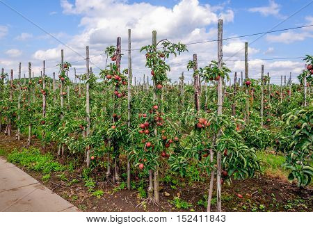 Modern apple orchard with espaliers in the Netherlands. The red apples are nearly harvest ripe.