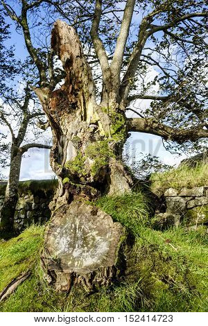 Remains of an old tree with tree trunk showing rings giving indication of age beside ancient drystone wall.