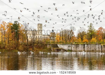 GATCHINA SAINT PETERSBURG RUSSIA - OCTOBER 16 2016: The Great Gatchina Palace in autumn a large number of seagulls flying. Gatchina Palace was one of the favourite residences of Imperial family