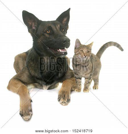 kitten and belgian shepherd malinois in front of white background