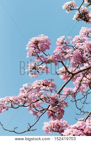 Malaysian Sakura or Tacoma spa flower blooming against blue sky