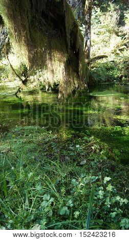Hoh Rain Forest, Olympic National Park, WASHINGTON USA - October 2014: trees coverd with moss