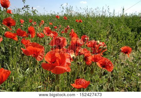 Image of a red poppies field over sky background