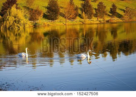Two white swans on autumnal blue pond